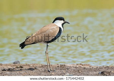 A Spur-Winged Plover (Vanellus Spinosus) standing on the shore - stock photo