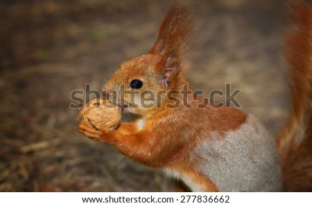 A squirrel holding a walnut with her two paws - stock photo
