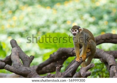 A squirrel monkey - stock photo