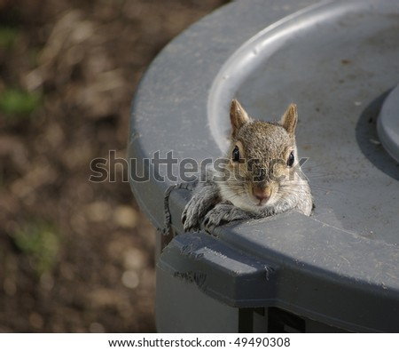 A squirrel peeks out of the hole he chewed in the trash can - stock photo