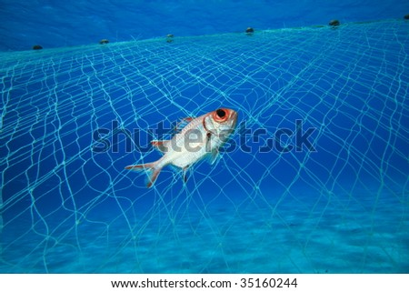 A squirrelfish is caught in an illegal poacher's gill net - stock photo