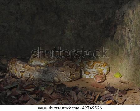a sri lankan rock python hiding in the shade - stock photo