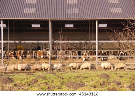 A stable with cows and sheep in front - stock photo