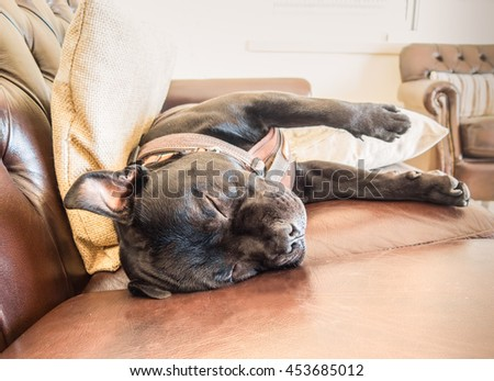 A staffordshire bull terrier dog sleeping on a brown leather sofa. He has his legs and ears sticking out straight. He is very relaxed and comfortable and very cute. He is wearing a harness. - stock photo