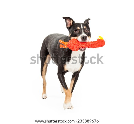 A Staffordshire Bull Terrier Mix Breed Dog retrieving a toy while playing a game of fetch.  - stock photo