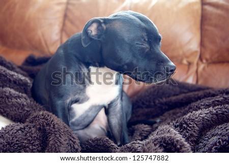 A staffordshire bullterrier falling asleep - stock photo