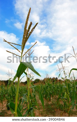 A stalk of corn against a cloudy blue sky