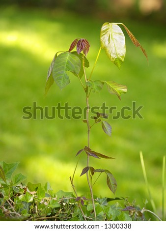 A stalk of poison ivy, useful for identification - stock photo
