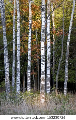 A stand of birch trees lines a roadside at Peninsula State Park in Door County, Wisconsin. - stock photo