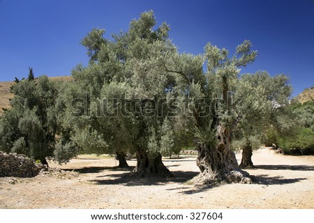 A stand of old Olive trees - stock photo