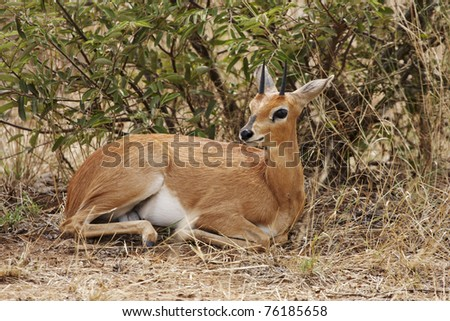 A steenbok, Raphicerus campestris, lying in thick bush - stock photo