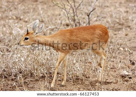 A steenbok, raphicerus campestris, walking in dry grassland - stock photo