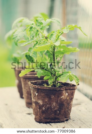 A still life photo of a tomato plant, shallow depth of field