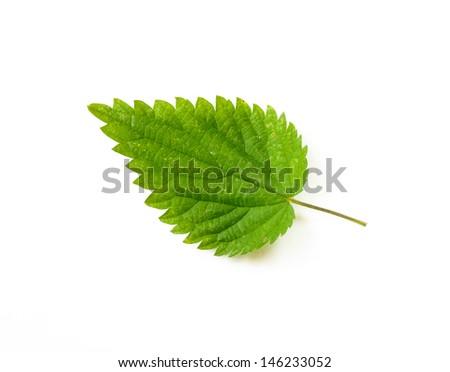 A stinging Nettle leaf on white background - stock photo