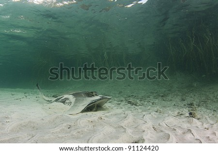 A stingray feeding in a shallow water lagoon with mangroves in the background - stock photo