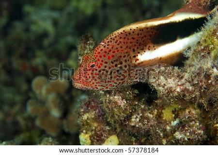 A stocky hawk fish lies in wait to ambush his prey - stock photo