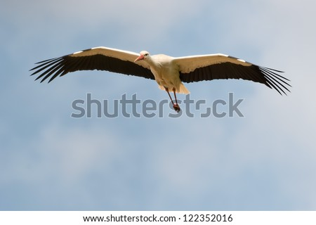 A stork fly to you in the deep blue sky background - stock photo