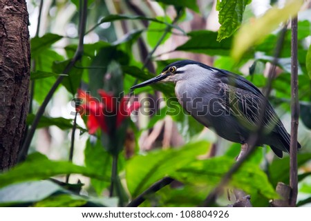 A Striated Mangrove Heron (Butorides Striata) also known as Mangrove Heron, Little Heron or Green-backed Heron sitting in a tree. - stock photo