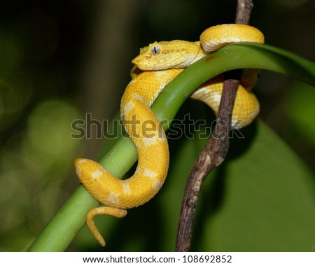A strikingly colored yellow and white Eyelash Pit Viper, Bothriechis schlegelii, coiled in a tree and vine in Costa Rica, waiting for prey - stock photo