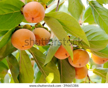 a string of fuyu persimmons hanging on a branch - stock photo