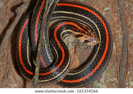 A Striped Kukri Snake (Oligodon octolineatus) in the rain forests of Malaysian Borneo. Strikingly coloured in red, black, and yellow, this snake was seen peeking out from under bark on a tree. - stock photo