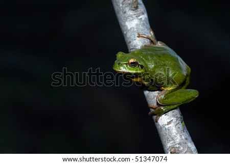 A stripeless tree frog on a branch.