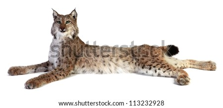 A stuffed lynx on a white background. isolated