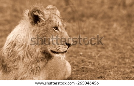 A sub adult male lion with a small mane starting looks at some antelope in this sepia tone image - stock photo