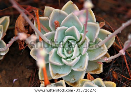 A succulent plant in a garden. - stock photo