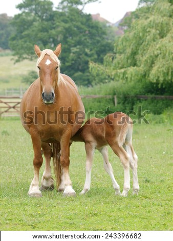 A Suffolk Punch mare feeds her young foal. - stock photo