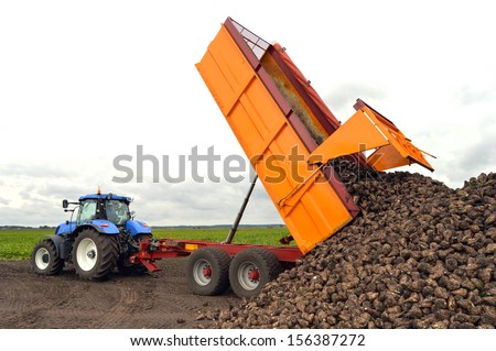A sugar beet harvest in progress - Tractor and trailer unload sugar beets - stock photo