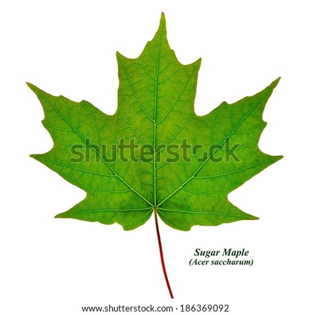 A Sugar Maple Leaf along with its common and Latin names isolated on a white background. - stock photo