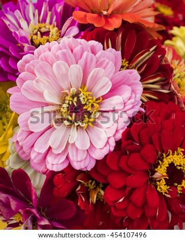 A summer bouquet of zinnias. - stock photo