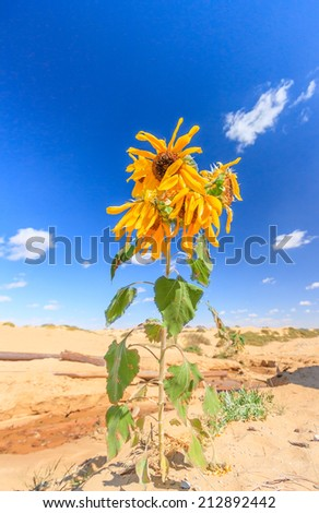 A Sunflower growing in an arid desert - stock photo