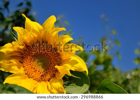 a sunflower under blue summer sky with bee gathering nectar for honey - stock photo