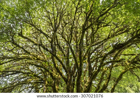 A sunlit bigleaf maple tree covered with epiphytic moss near Lake Crescent in Olympic National Park, Washington - stock photo