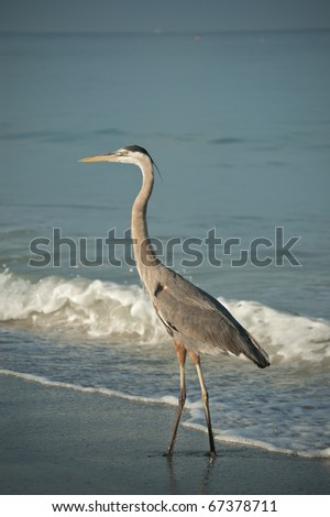 A sunlit Great Blue Heron walks along a Florida Beach with a breaking wave in the background.
