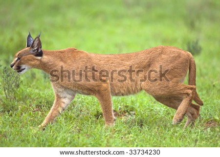 A super predator the Caracal moves through the African bush hunting - stock photo