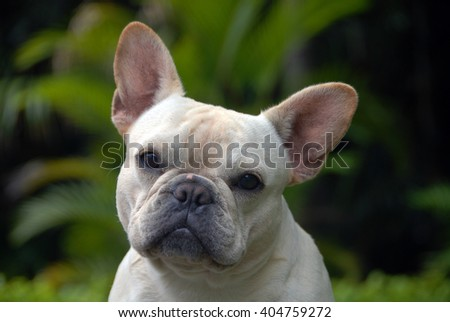 A surprised French Bull Dog snapshot, very vivacious looking around for fun.  - stock photo