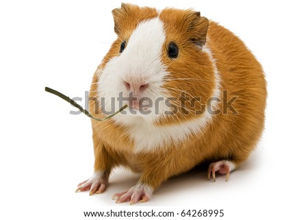 a surprised guinea pig with a blade of grass