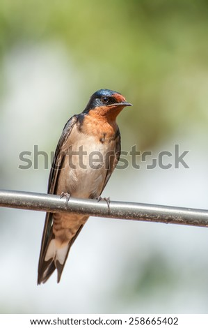 A swallow sit on a thick piece of stretched wire to rest. - stock photo
