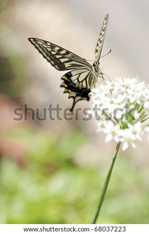 A swallowtail butterfly on the flower of  leeks in Japan. - stock photo