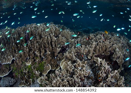 A swarm of planktivorous damselfish (Chromis viridis) swim above reef-building corals grow in shallow water in the Solomon Islands. This region is known for its spectacular marine diversity. - stock photo