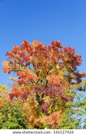 A sweet-gum tree in Tower Grove Park (St. Louis) proudly displays its spectrum of majestic colors: red, orange, yellow, green, and purple. - stock photo