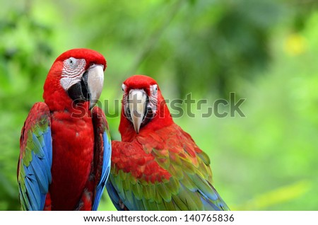A sweet moment of Green-winged Macaw with romantic pair of colorful birds, red green blue macaw bird - stock photo