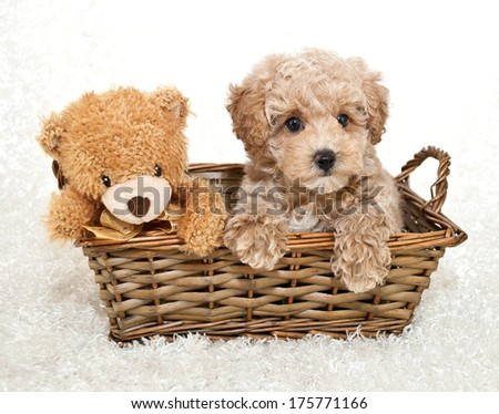 A sweet Poodle puppy sitting in a basket with a cute teddy bear, on a white background. - stock photo