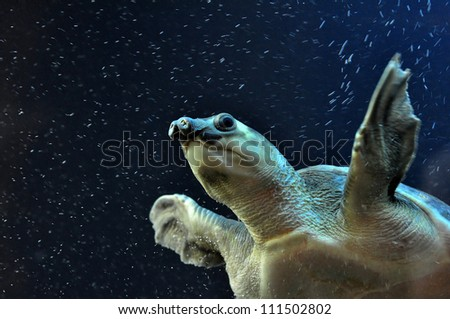 A swimming pig nosed turtle - stock photo