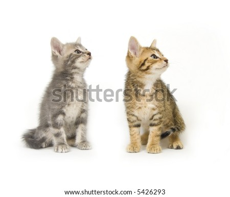 A tabby and a gray kitten sit on a white background and look to the right - stock photo