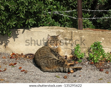 A tabby cat relaxing on the ground amid acorns.