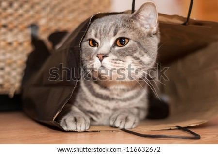 A tabby cat sits inside of a brown paper bag - stock photo